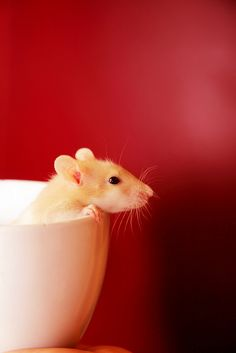 Baby Rat in a Teacup by Pink Sherbet Photography, via Flickr