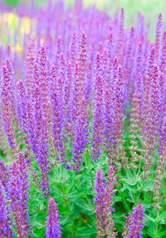Buy Balkan clary Salvia nemorosa 'Ostfriesland': Delivery by Waitrose Garden in association with Crocus