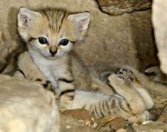 Extinct in Israel, Sand Cat Kittens Emerge at Zoo Tel Aviv