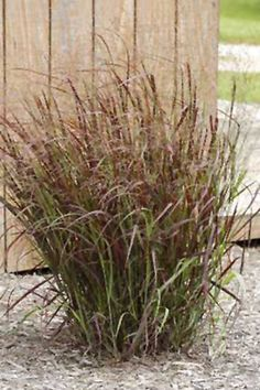 Prairie Fire Red Switch Grass  Height: 5 feet  Spread: 3 feet  sun to partial shade  zone 3
