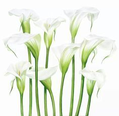 calla lily botanical painting | Calla Lily ༜ on Pinterest | Calla Lilies, Lilies and Paintings