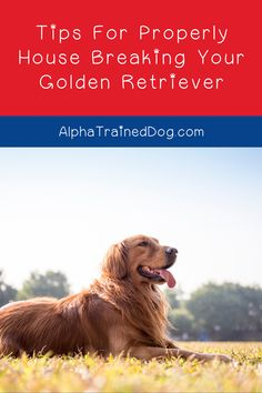Working on house breaking your Golden Retriever?    Goldens are easier to train than more stubborn breeds, true.    However, you'll still need patience and diligence to get the job done right.