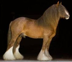 DraftsForSale.com: Gypsy Vanner Horse For Sale - Tumblers Mark Of Grace