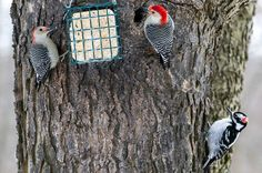 3 woodpeckers, 1 suet cake. Female and male Red-bellied Woodpecker and male Hairy Woodpecker.