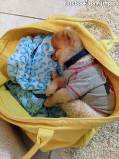 Cute Sleeping Jiff the Pomeranian Puppy in a Handbag Cute Dogs And Puppies, Baby Dogs, Doggies, Spitz Pomeranian, Pomeranians, Animals And Pets, Baby Animals, Jiff Pom, Sleepy Dogs