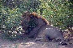 Obrovský samec lva náhle zvedá hlavu, když narušujeme bezpečnou vzdálenost, ale opět sebou flákne na zem . Je vedro.