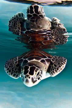 Turtle Reflection ~ Photo by...Kadu Pinheiro©