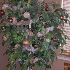 Converting Ficus tree  to a Christmas Tree