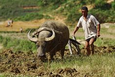 Hmong rice farmer preparing the rice field with the help of his strong water buffalo near Sa Pa, Vietnam