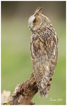 Long-eared Owl of Prey Owl Photos, Owl Pictures, Beautiful Owl, Animals Beautiful, Owl Bird, Pet Birds, Nocturne, Nocturnal Birds, Long Eared Owl