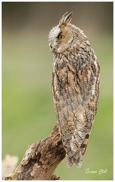 Perfect camouflage.   Long-eared Owl by www.jeroenstel.com, via Flickr