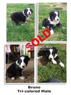 Litter of 4 Border Collie puppies for sale in CLOVIS, CA. ADN-25704 on PuppyFinder.com Gender: Male. Age: 6 Weeks Old