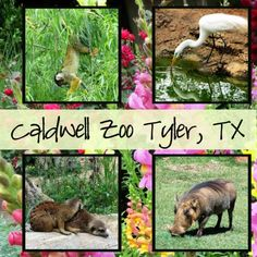 Caldwell Zoo Tyler, Texas -- great smaller zoo that is perfect for toddlers - elementary age kids!