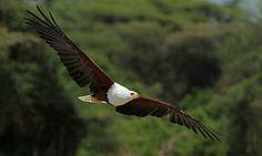 african fish eagle    (photo by rainbirder)
