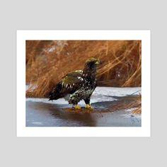 #INPRNT #fine art #print #poster #art Print Poster, Bald Eagle, Wildlife, Birds, River, Fine Art, Art Prints, Printed, Gallery