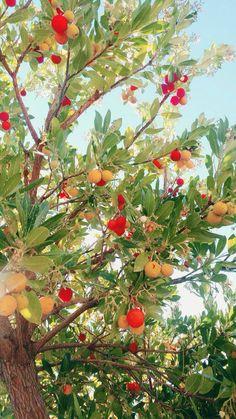 Arbutus unedo - Deze prachtige aardbeienboom is winterhard en kan dus een mooie toevoeging zijn in de tuin! De witte klokvormige bloemen en de dieprode vruchten maken deze boom zo speciaal. Kijk voor zaden hier: http://www.onszaden.nl/arbutus_unedo