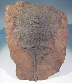 Scyphocrinus Elegans Fossil Crinoid Plate OF Silurian From Morocco | eBay