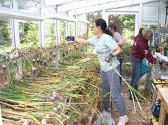 Drying garlic - Share the Health Educational Garden