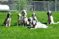 You can't have just ONE English Setter!       :-)