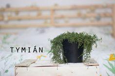 Velký bylinkový průvodce aneb co pěstovat na balkóně: Tymián