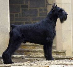 Giant Schnauzer. I have officially decided on this breed of dog the day i have time and money to get one! done my research and these guys are my favorite : )