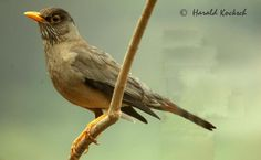 Zorzal - AVES DE CHILE Reptiles, Naruto, Flora, Birds, Little Birds, World, Beautiful Birds, Amphibians, Board