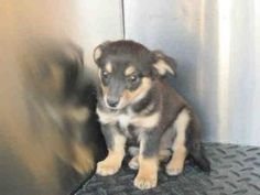 Hugs is an adoptable Welsh Corgi Dog in Lomita, CA. This little 2 month old cute corgi mix ml is at the high kill, overcrowded Kern County Bakersfield Shelter.  You can visit with him prior to adoptin...