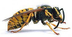 Yellow jackets, or hornets, are the slim yellow and black striped bees that are a type of wasp and can sting repeatedly. They can build homes, which are usually not completely visible, a couple inches inside a structure. Black N Yellow, Black Stripes, Japanese Giant Hornet, Best Farm Dogs, Bugs, Diy Pest Control, Hawaiian Dancers, Cute Backgrounds, Wasp