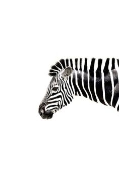 Zebra , black & white perfect stripes