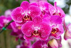 Pink phalaenopsis orchid flower by aopsan on @creativemarket