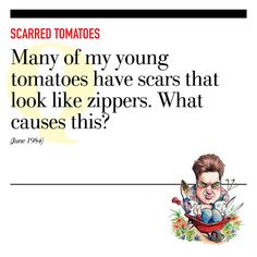 Scarred Tomatoes - Questions to the Grumpy Gardener - Southernliving. Q: Many of my young tomatoes have scars that look like zippers. What causes this? (June 1984)  A: Cool, wet weather when young tomatoes are growing quickly produces these scars. The zippers get bigger as the tomatoes do, but are only unsightly and don't affect the fruit inside the skin.