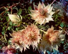 Serruria florida - s africa