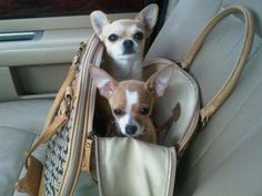 Chloe and Callie ~ chihuahuas I wish you had remembered to take the hair brush out of your purse before we jumped in!