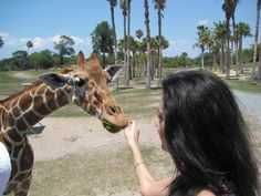 I was nibbled by a baby giraffe at Busch Gardens in Tampa.  I'll never forget how soft it's fur was. It was wonderful.