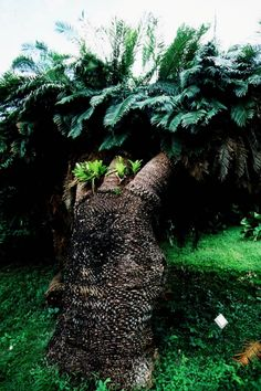 South Africa's ancient cycad plants under threat from poachers. Experts warn that lucrative trade in endangered varieties of the world's oldest seed plant could lead to extinction, after 24 rare cycads stolen from Cape Town botanical gardens