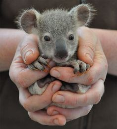 Aww, its a sweet koala./ Aww, es un dulce koala. Baby Animals Pictures, Cute Animal Pictures, Animals And Pets, Funny Animals, Animals With Their Babies, Baby Wild Animals, Funny Koala, Adorable Pictures, Animal Babies