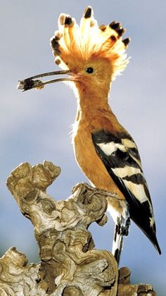 Hoopoe - National Bi