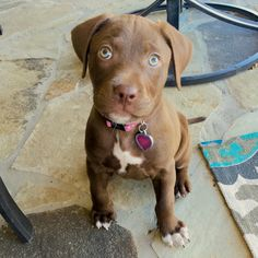 Chocolate Lab / Pitbull puppy