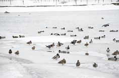 Mallards, crows and icy water