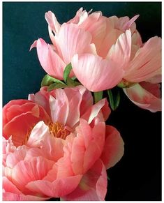 Two Pink Peonies More