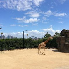 Have you ever visited the #giraffes at #Taronga #Zoo in #Sydney #Australia #Travel