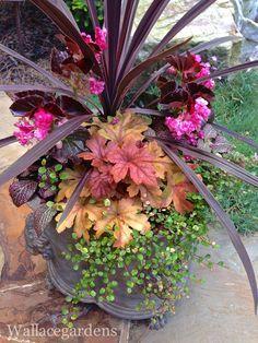 Cordyline 'Baueri' ( Dracaena Palm) , Fittonia 'Red Anne', Muehlenbeckia variegated (Wire Vine), Begonia 'Lady Francis', Heucherella 'Sweet Tea' , Ruby Red Spikemoss ,
