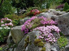 Alpine Plants in the Garden Photos Alpine Garden, Alpine Plants, Rock Garden Plants, Garden Stones, Japanese Garden Backyard, Japanese Gardens, Rockery Garden, Pink Perennials, Rock Garden Design