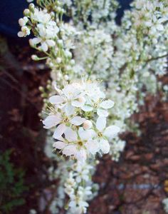 Japanese blood plum Lizzie, Apr 6. http://www.mandycanudigit.co.uk/#!plum-cherry-almond/c1pqb