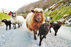 Sauer på Øvre-Eide Gård. Bergen, Eid, Animals, Animais, Animales, Animaux, Animal, Mountains, Dieren