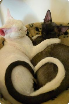 chats devon rex noir et blancs coeur queue                                                                                                                                                                                 Plus