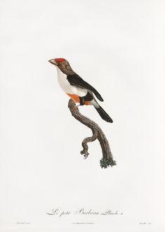 Toco Toucan, Vintage Bird Illustration, Black Neck, Vintage Birds, Old Paper, Monster Hunter, New York Public Library, Free Illustrations, Natural History