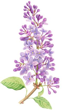 Lilac illustration. An illustration for Australian House & Garden magazine November 2012. © Allison Langton