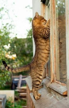 Are these the most beautiful cats in the world? I Love Cats, Crazy Cats, Cool Cats, Beautiful Cats, Animals Beautiful, Animals And Pets, Cute Animals, Cat Window, Photo Chat