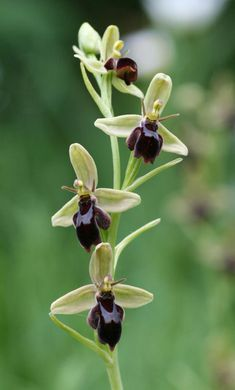 Bee orchid x Fly orchid -This is a hybrid between Ophrys apifera and Ophrys insectifera